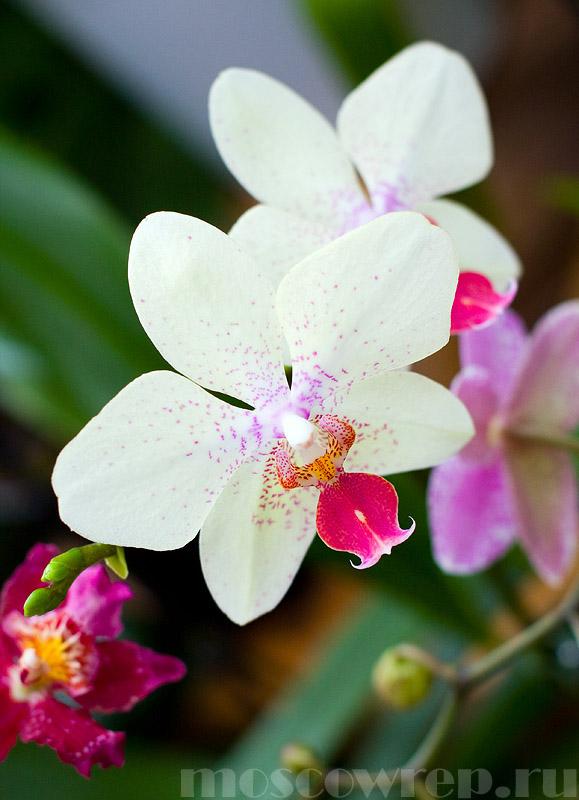 москва, орхидея, аптекарский огород, московский репортаж, цветы